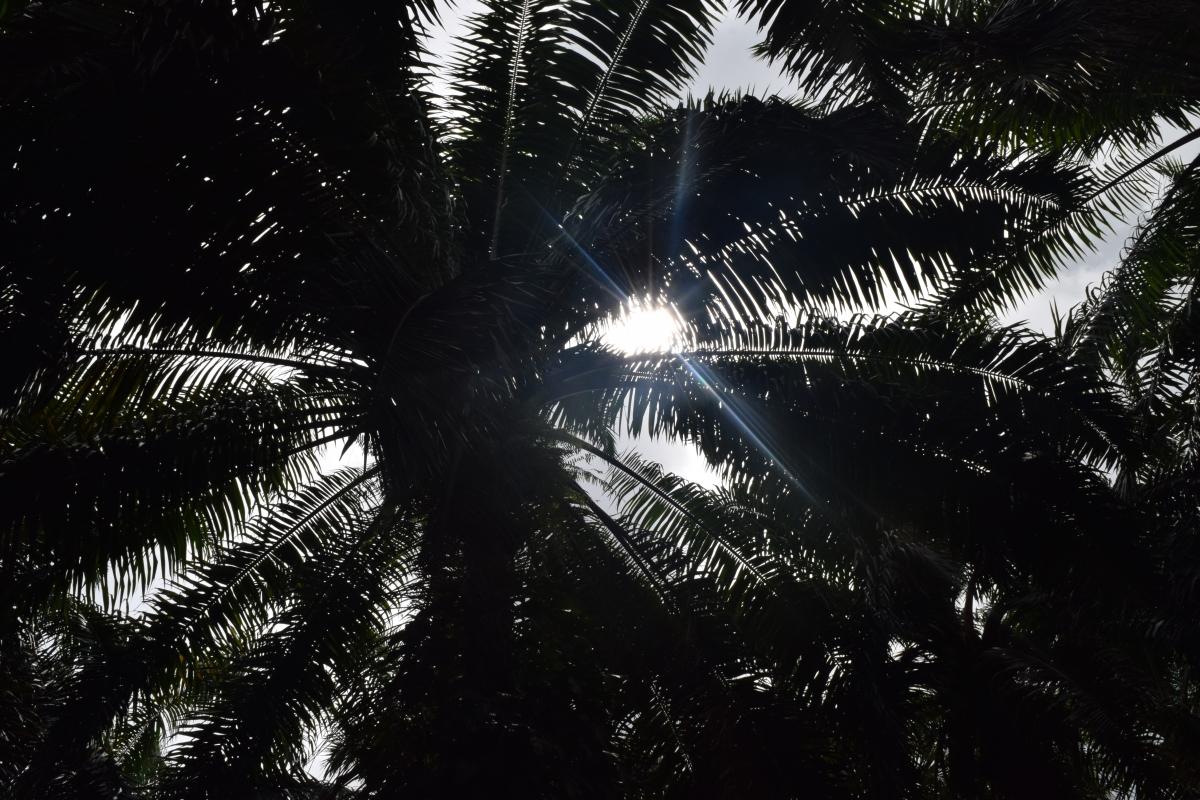 zdjęcie promieni słonecznych widzianych przez palmę.